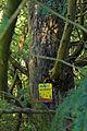 2 Eiben in Hirschenwies rechter Stamm 2014-09 NÖ-Naturdenkmal GD-141.jpg