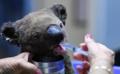 310x190 koala-sauve-incendies-bush-australien-30-octobre-2019-port-macquarie.webp