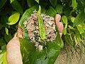 4087Ants Common houseflies foods delicacies of Bulacan 31.jpg