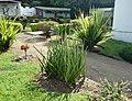 5 Sansevieria - Arusha gardens.jpg