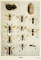 80-Indian-Insect-Life - Harold Maxwell-Lefroy - Fossores.jpg