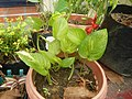 9663Ornamental plants in the Philippines 10.jpg