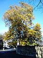AZ0053 Ulmus minor. Granton Road. (02).jpg