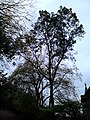 AZ0108 Ulmus minor. Calton Hill Park, Edinburgh (09).jpg