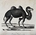 A Bactrian camel. Etching by P. Mazell. Wellcome V0020896.jpg
