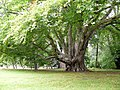 A Layered Beech Tree at Kilravock Castle - geograph.org.uk - 1512369.jpg