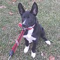 A Sheprador at 3-5 months old- A cross between a German Shepherd and Labrador Retriever- 2014-01-09 02-44.jpg