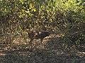 A Spotted deer.jpg
