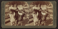A Superbly plumes ostrich in the plucking pen, Ostrich Farm, Jacksonville, Fla, from Robert N. Dennis collection of stereoscopic views.png