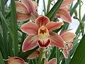 A and B Larsen orchids - Cymbidium Frida DSCN4721.JPG