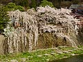 A big-Cherry tree at old Takayama town - panoramio.jpg