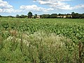 A sugar beet crop - geograph.org.uk - 1452947.jpg