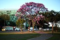 Aberta a temporada de ipês roxos em Brasília (28967969778).jpg