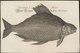 Abramis brama - 1726 - Print - Iconographia Zoologica - Special Collections University of Amsterdam - UBA01 IZ15000124.tif