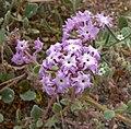Abronia villosa 1.jpg