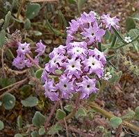 Abronia villosa 1