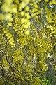 Acacia dealbata 13.jpg