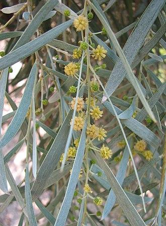 Acacia pendula - Image: Acacia pendula