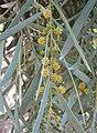 Acacia pendula.jpg