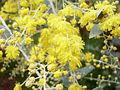 Acacia podalyriifolia 4.jpg