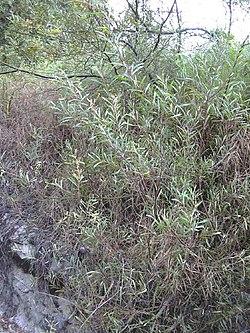 Acacia retinodes - Wikipedia