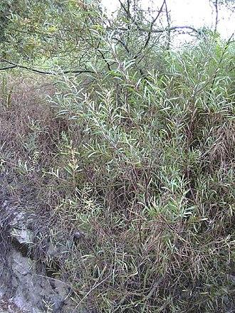 Acacia retinodes - Acacia retinodes habit