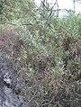 Acaciaretinodes1web.jpg