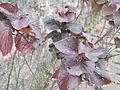 Acalypha wilkesiana moorea-2-yercaud-salem-India.JPG