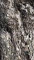 Acer campestre bark 3.jpg