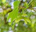 Acer cappadocicum in La Jaysinia (4).jpg