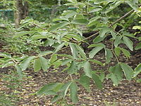 Acer griseum1