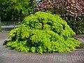 Acer palmatum 004.JPG