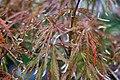 Acer palmatum Red Select 0zz.jpg