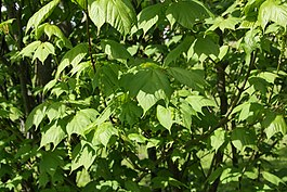 Acer pensylvanicum leaves flowers.jpg