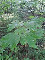 Acer sp. familija Sapindaceae 02.jpg