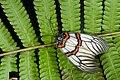 Achelura sanguifasciata (25981696441).jpg