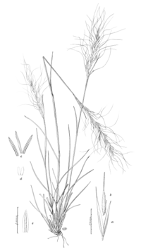 Achnatherum aridum (as Stipa arida) HC-1900.png