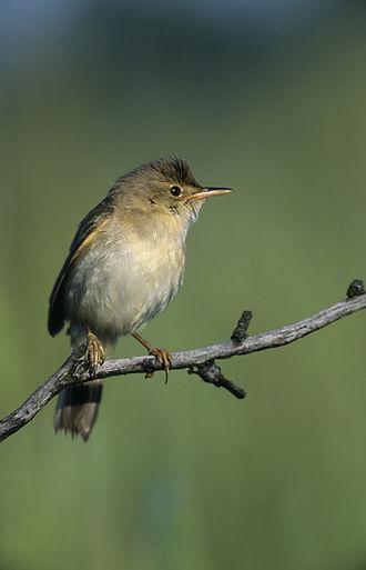 Marsh warbler - Image: Acrocephalus palustris (Marek Szczepanek)