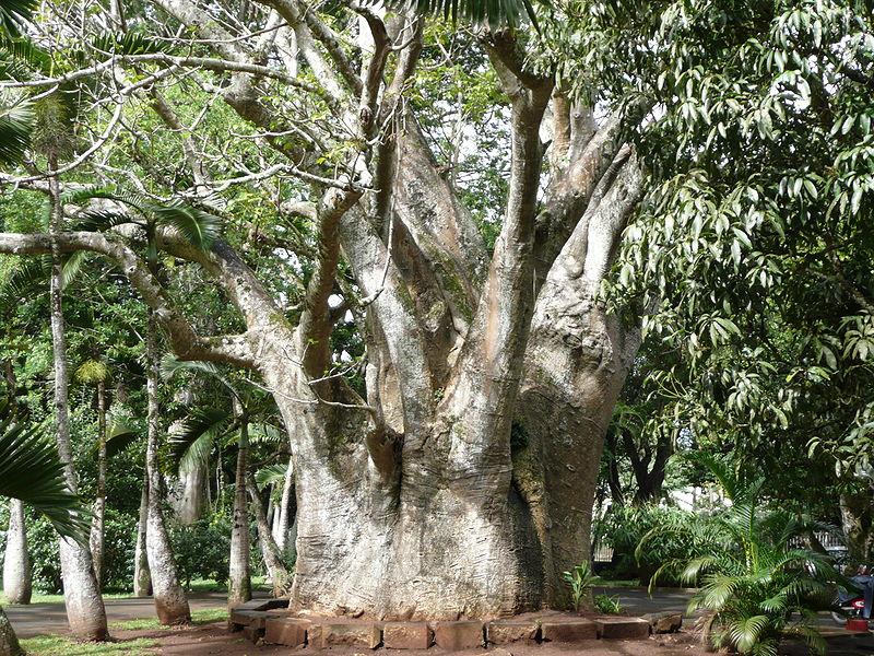 Un magnifique tronc de baobab