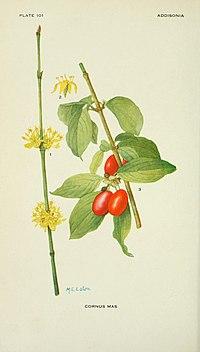 Addisonia (PLATE 101) (8591359681).jpg