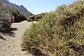 Adenocarpus viscosus kz15.jpg