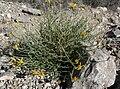 Adenophyllum cooperi 4.jpg