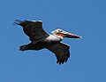 Adult Brown Pelican (Pelecanus occidentalis) (5115282321).jpg