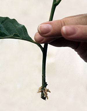 Cutting (plant) - A magnolia stem cutting has been coaxed to form new roots, and is now a complete plant.