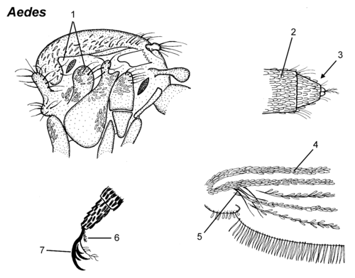 Aedes thorax parts.png