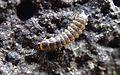Aegialites saintgeorgensis larva.jpg