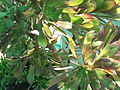 Aeonium arboreum atropurpureum-3-yercaud-salem-India.JPG