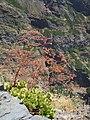 Aeonium glutinosum - Pico do Arieiro.jpg