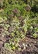 Aeonium valverdense - Jardín Botánico Canario Viera y Clavijo - Gran Canaria - 01.jpg