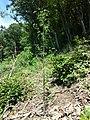 Aethusa cynapium subsp. elata sl12.jpg